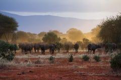 Büffel, gehend zum Sonnenuntergang voran Stockfotografie