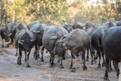 Büffel geht zurück zur Hürde Stockfoto