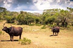 Büffel gesehen in Nationalpark Yala, Sri Lanka stockfotos