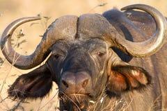 Büffel-Gesichts-Porträtstarren in Nationalpark Kruger Lizenzfreie Stockbilder