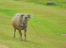 Büffel, Grünfeld stockbild