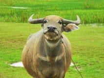 Büffel, Grünfeld lizenzfreie stockfotos