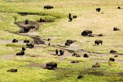 Büffel-Herde im Hayden Tal stockbilder
