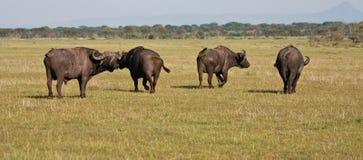 Büffel-Herde in Tanzania Lizenzfreie Stockfotos
