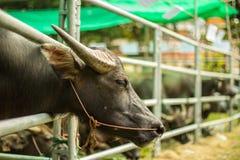 Büffel im Bauernhof Stockfotos