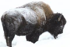 Büffel im Dauerfrostboden im tiefen Schnee Lizenzfreies Stockbild