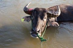 Büffel im Fluss Stockbild