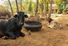 Büffel im indischen Dorf stockbild
