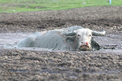 Büffel im Schlamm Stockfotos