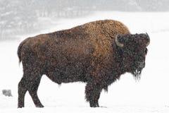 Büffel im Schnee Stockfotografie