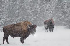 Büffel im Schnee Lizenzfreie Stockfotos