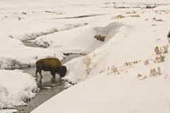 Büffel im Schnee Stockfoto