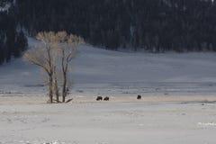 Büffel im Schnee Stockfotos
