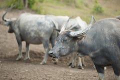 Büffel im Schutz Asien lizenzfreies stockfoto