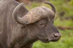 Büffel im wilden in Kwa Zulu Natal Lizenzfreies Stockbild
