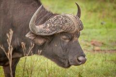 Büffel im wilden in Kwa Zulu Natal Stockfotos