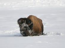 Büffel im Winter Lizenzfreie Stockfotos