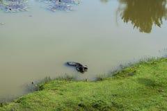 Büffel kühlen weg auf einem Mittag ab Lizenzfreie Stockfotografie