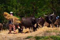 Büffel kauen Reisstroh Lizenzfreie Stockbilder
