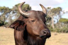 Büffel-Kuh Lizenzfreie Stockbilder