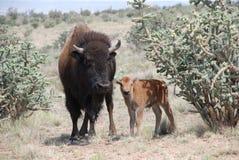 Büffel-Kuh steht mit ihrem Kalb Stockbild