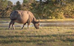 Büffel lässt auf der Wiese weiden Lizenzfreie Stockbilder