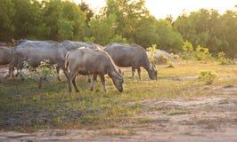 Büffel lässt auf der Wiese weiden Lizenzfreie Stockfotografie