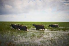 Büffel laufen gelassen auf Wasser stockbilder