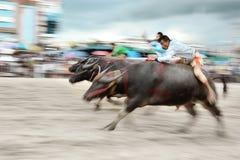 Büffel-laufendes Festival Stockfotos