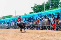 Büffel-laufendes Festival am 7. Oktober 2014 Stockbild