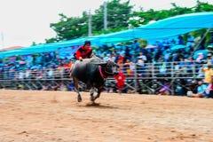 Büffel-laufendes Festival am 7. Oktober 2014 Lizenzfreie Stockfotos