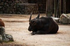 Büffel in Lissabon-Zoo Lizenzfreies Stockbild