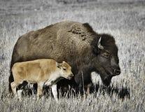 Büffel mit Kalb Stockbild