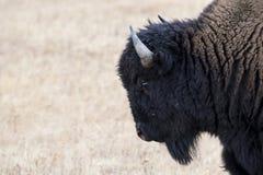 Büffel mit Kopienraum Stockbild