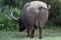 Büffel-Rückseite Stockfotos