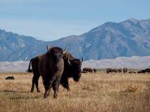 Büffel-Ranch lizenzfreie stockfotografie