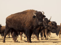Büffel-Ranch lizenzfreie stockfotos
