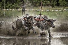 Büffel-Rennfestival Stockfotografie