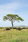 Büffel in Serengeti lizenzfreie stockfotos