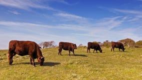 Büffel in sieben Schwestern Stockbild