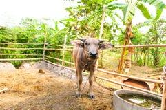 Büffel standingin ein Stall Stockfotos