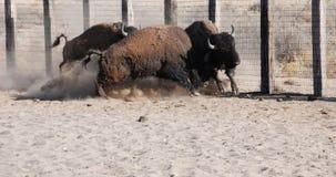 Büffel-Stier-Kampf Stockfoto