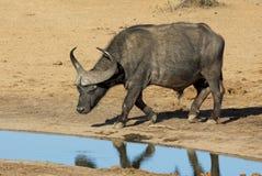 Büffel Stier mit großen Hörnern bei Waterhole Lizenzfreie Stockbilder