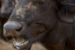 Büffel Stier - Nationalpark Kruger Lizenzfreies Stockfoto