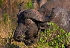 Büffel (Syncerus caffer) im wilden Lizenzfreie Stockfotografie
