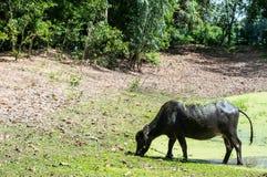 Büffel thailändische 2 Stockbilder