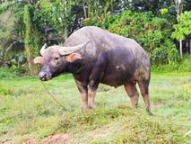 Büffel in Thailand Lizenzfreie Stockbilder