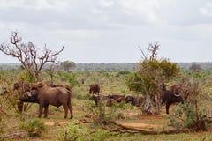 Büffel in Tsavo Ost stockfoto