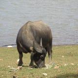 Büffel u. Plastik stockbild