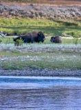 Büffel und kleines Kalb in Yellowstone Stockbilder